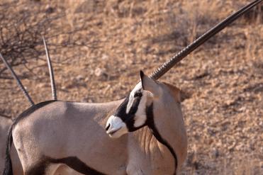 Oryx Antilope, Kgalagadi