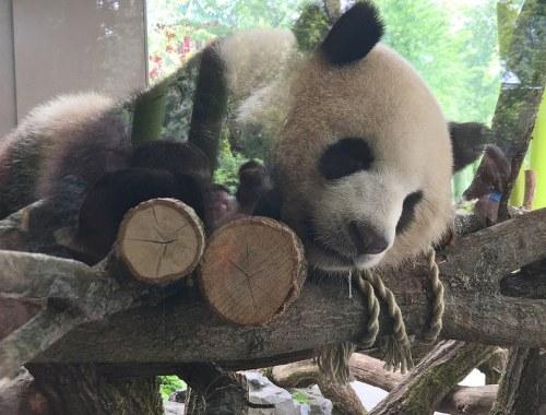 pandas zoo berlin