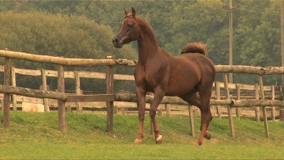 Documentary Aldemars PA Arabian Horse, Silverdale Arabians, England