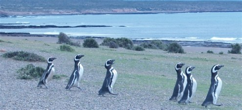 penguins_marching_5003