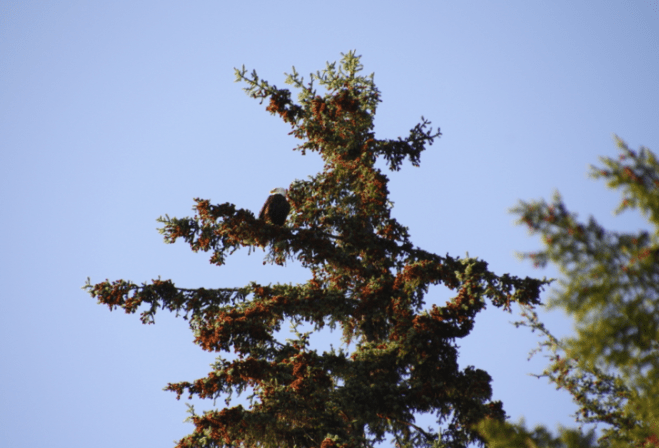 An eagle in a tree