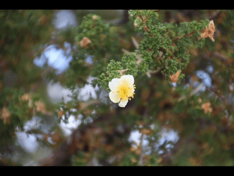 A Cliff Rose