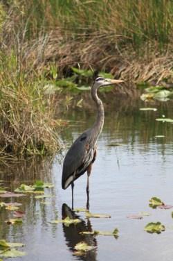 Oiseau Everglades Floride