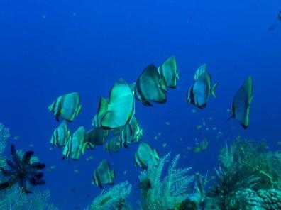 Ein Schwarm Spitzkopf-Fledermausfische