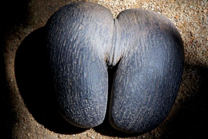 Die Coco de Mer mit ihrer erotischen Form