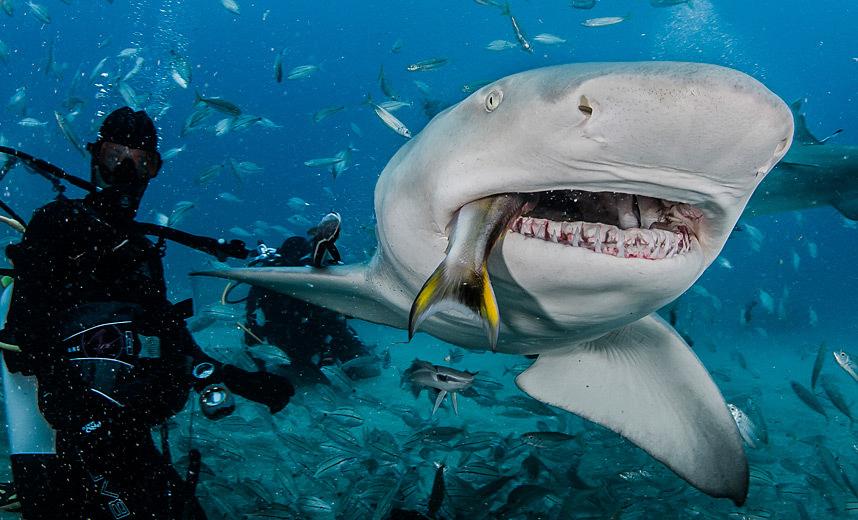 3d Wallpaper Under The Sea Bahamas Nassau Shark Feeding Course Best Golf And Diving