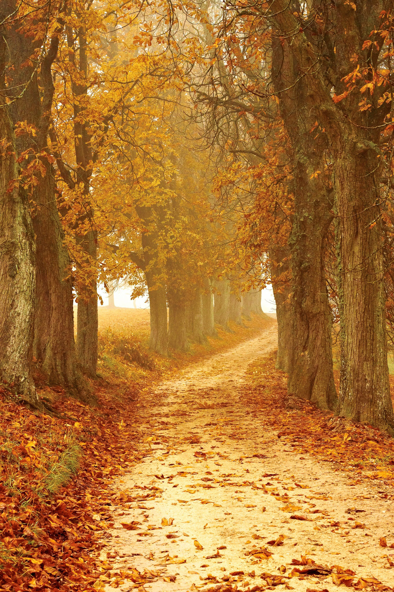 Free Fall Forest Wallpaper Golden Path In Autumn Between The Trees Image Free Stock