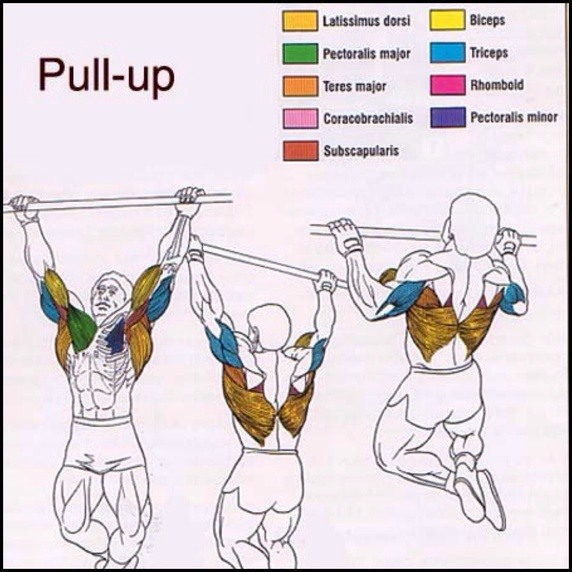 Pull-Up Muscles Worked With Diagram