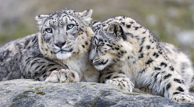 Lps Wallpaper Cute The Majestic Long Endangered Snow Leopard Is Not