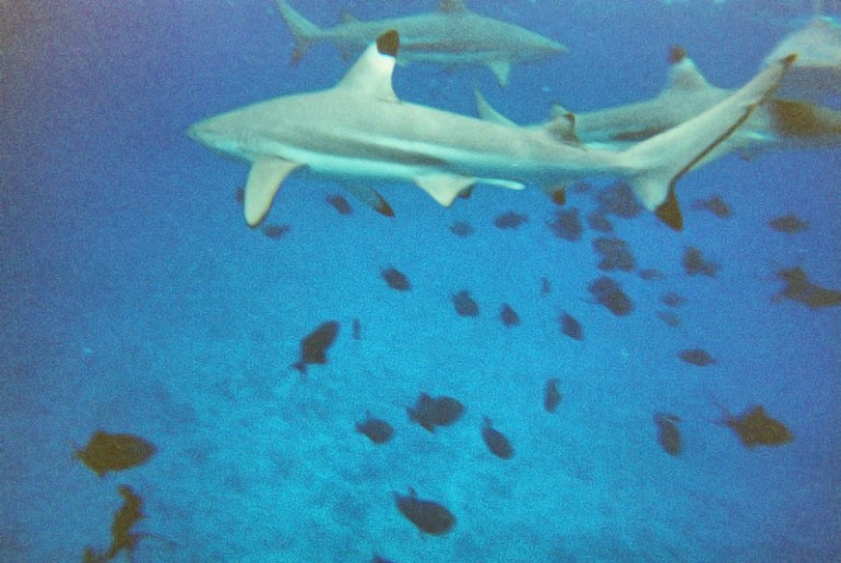 New Friends - Black Tip Sharks that we Swam With in the South Pacific