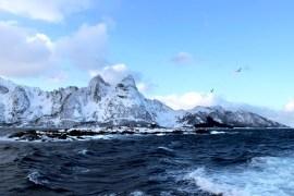 Das große Skrei Abenteuer Lofoten Norwegen