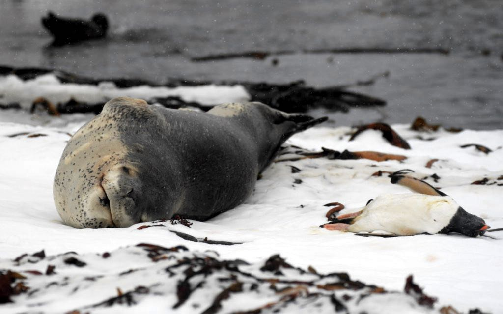 After bringing a dead penguin ashore the leopard seal Melvin guarded his potential meal. Photo Siân Tarrant
