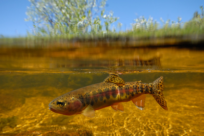 Scenic Fall Wallpaper California Golden Trout Photography And Fly Fishing