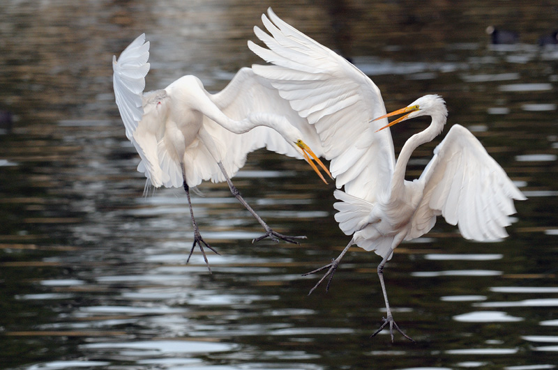 Pretty Fall Wallpapers Great White Egret Photography In Flight Fishing And Playing