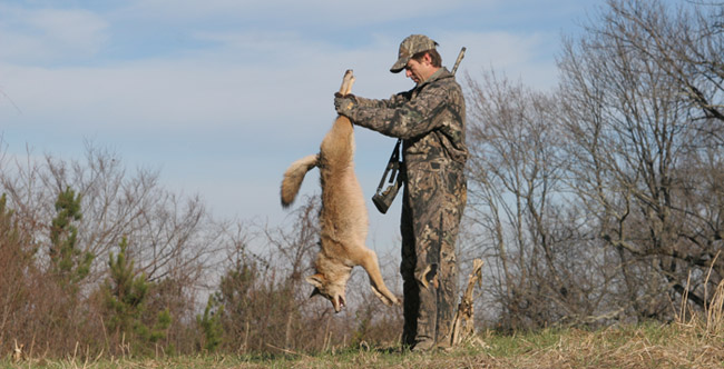 coyote hunting deer population