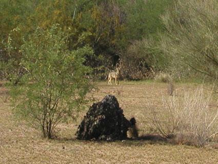coyote misting