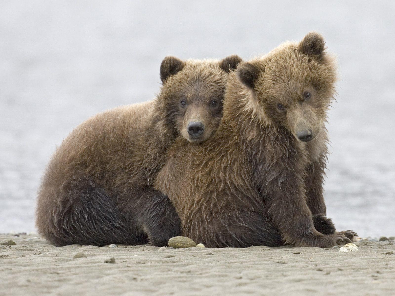 Cute Baby Bears Wallpaper 26 Fondos De Pantalla Del Oso Pardo Wallpapers De Osos En Hd