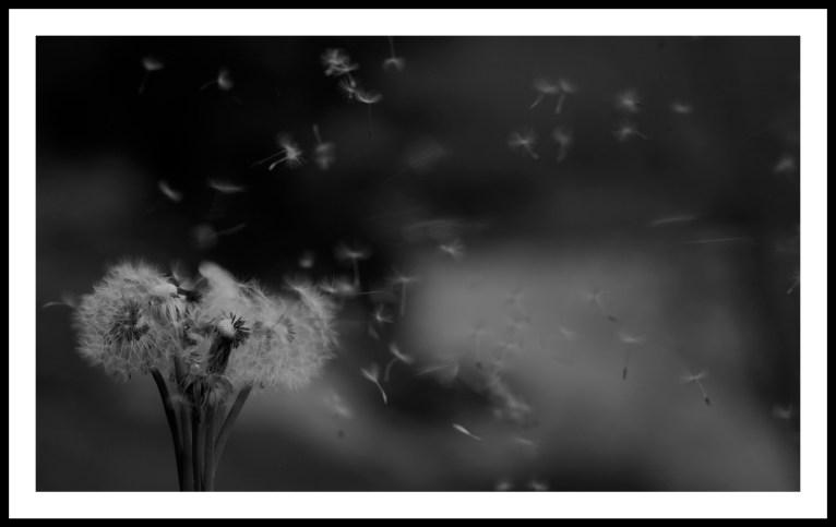 GC pissenlit-taraxacum souffle vent - ivan olivier photographies