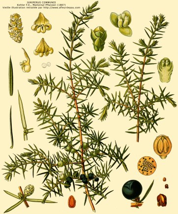 GC - Juniperus communis herbier - Köhler F.E. Medizinal Pflanzen