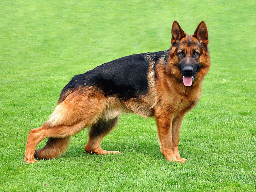 Clever German Shepherd Dog German Shepherd Dog Breeds German Dog Breeds Beginning V German Dog Breeds Beginning S bark post German Dog Breeds
