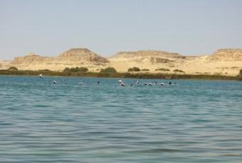 Flamingo-BirdsShiata-lakeSiwaEgypt