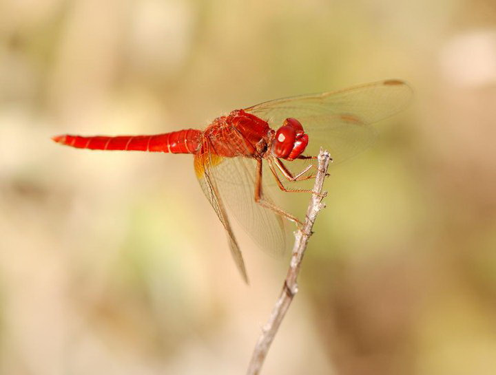 Red dragonfly on Corfu