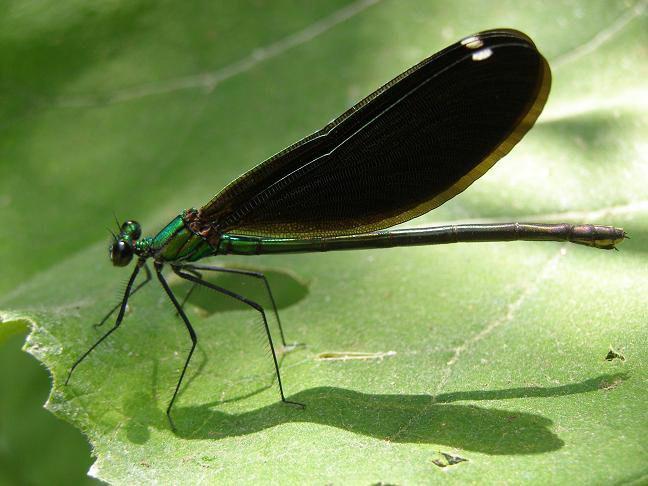Green-black dragonfly on Corfu