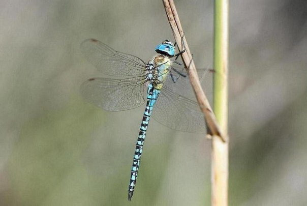 Turquoise dragonfly on Corfu