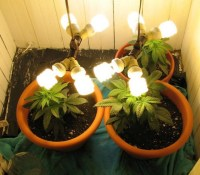 CFL Lights For Weed Growing Indoors | Green CulturED ...