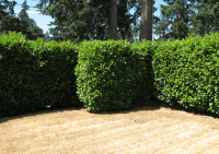 The 7 Best Trees And Shrubs For Privacy Screening In Your ...