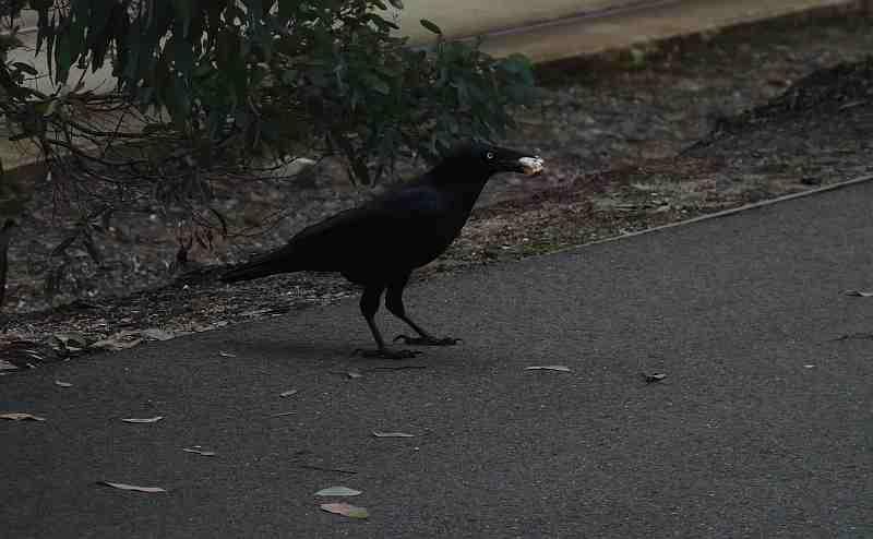 Little Raven in Melbourne