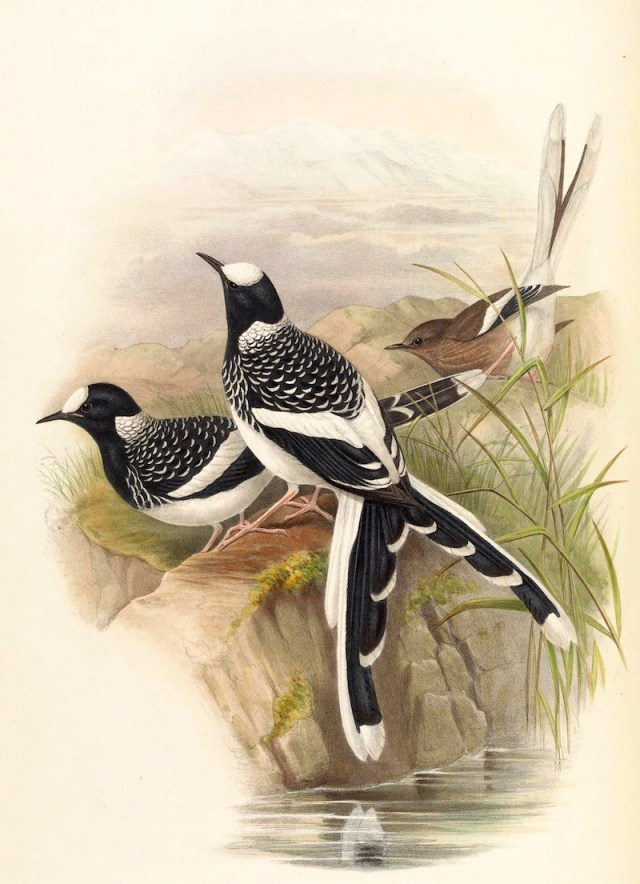 Spotted Forktail by John Gould
