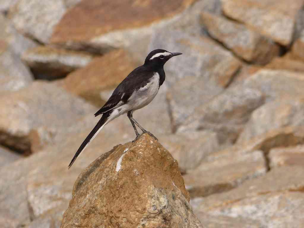 Backyard Birding – Kaikondrahalli and Kasavanahalli