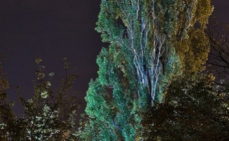 Huge black poplar tree green lit by street lamps
