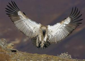 Bearded Vulture 300x216 Two Vulture Species in Africa at Risk of Extinction Due to Wind Power Project