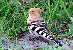 Israel's National Bird Poll: Hoopoe & Sunbird