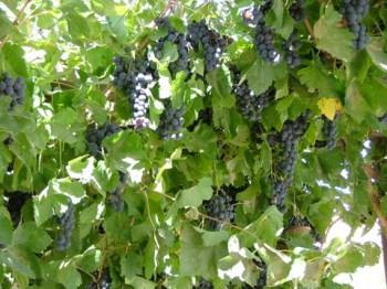 carmey avdat vineyard solar israel
