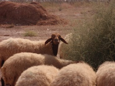 A Farmer's Story on Natural Sheep Grazing for the Jericho Date Company