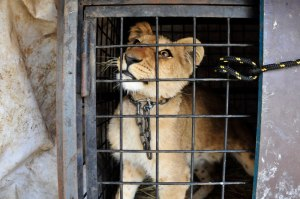 caged-lion-circus-lebanon