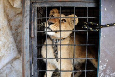 Lebanon's Lions, Tigers and Bears Take the Heat