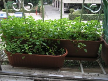 Foraging the Wild Weeds on Your Windowsill: Grow Chickweed