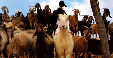 "Israel's Organic ""Goats with the Wind"" Farm is Delicious Eco-Tourism"