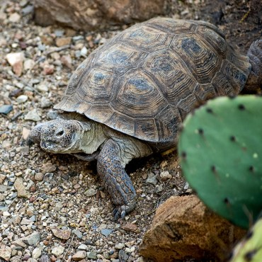 California Desert Tortoises Will Be Relocated To Make Room For BrightSource Energy Plant
