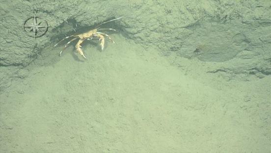 10cm-crab-mediterranean