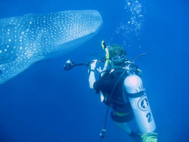 Mysterious Female Whale Sharks Elude Marine Biologists