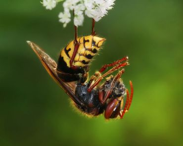 Tel Aviv Researchers Discover That Hornets Run On An Abdomen Full Of Sun