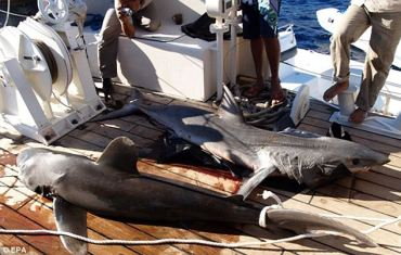 Environmental Factors Turn Once Harmless Sharks Into Killers