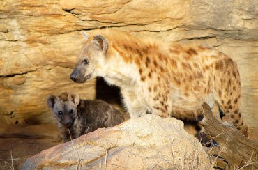 What Happens When Hyenas Pee On Bedouins