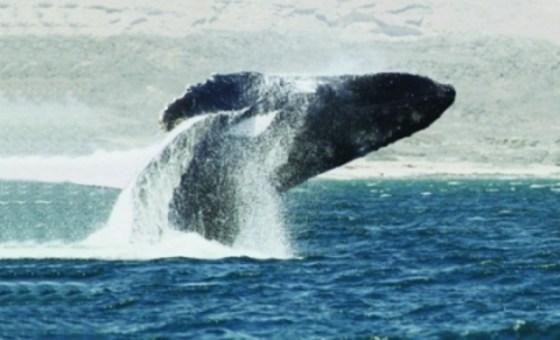 Arabian Sea Humpback Whale