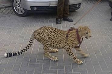 Dubai Porsche Driver Walks Pet Cheetah on a Leash